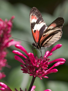 19th Mar 2021 - Butterfly on firespike plant
