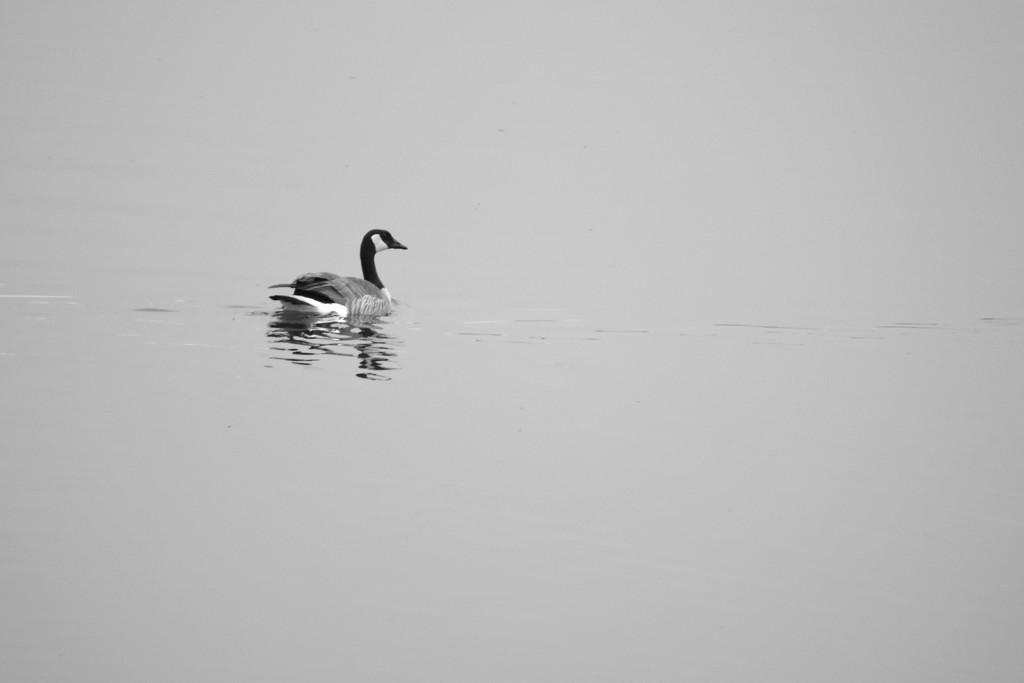Waterfowl Study In Black & White by bjywamer