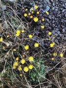 20th Mar 2021 - Coltsfoot