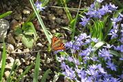 20th Mar 2021 - butterfly