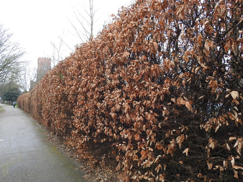 Beech Hedge by oldjosh