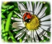 21st Mar 2021 - Ladybird And Daisy