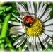 Ladybird And Daisy by carolmw