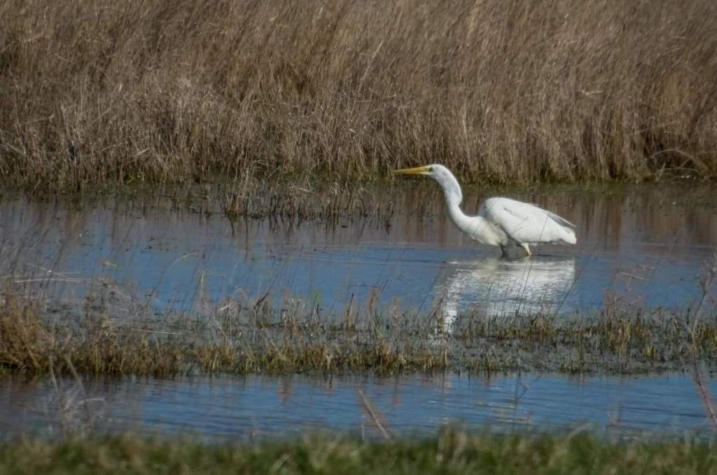 Great Egret by ilovelenses