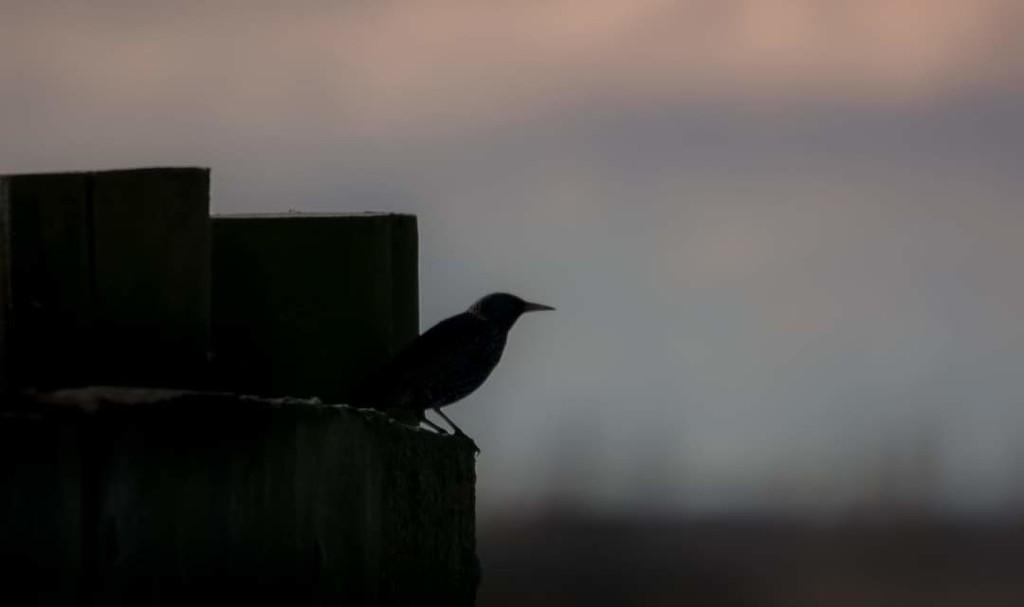 Starling  by ilovelenses
