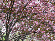 21st Mar 2021 - Pink blossoms