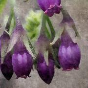 21st Mar 2021 - Violet flowers