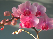 21st Mar 2021 - Pink Orchid