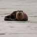 River Otter by tosee