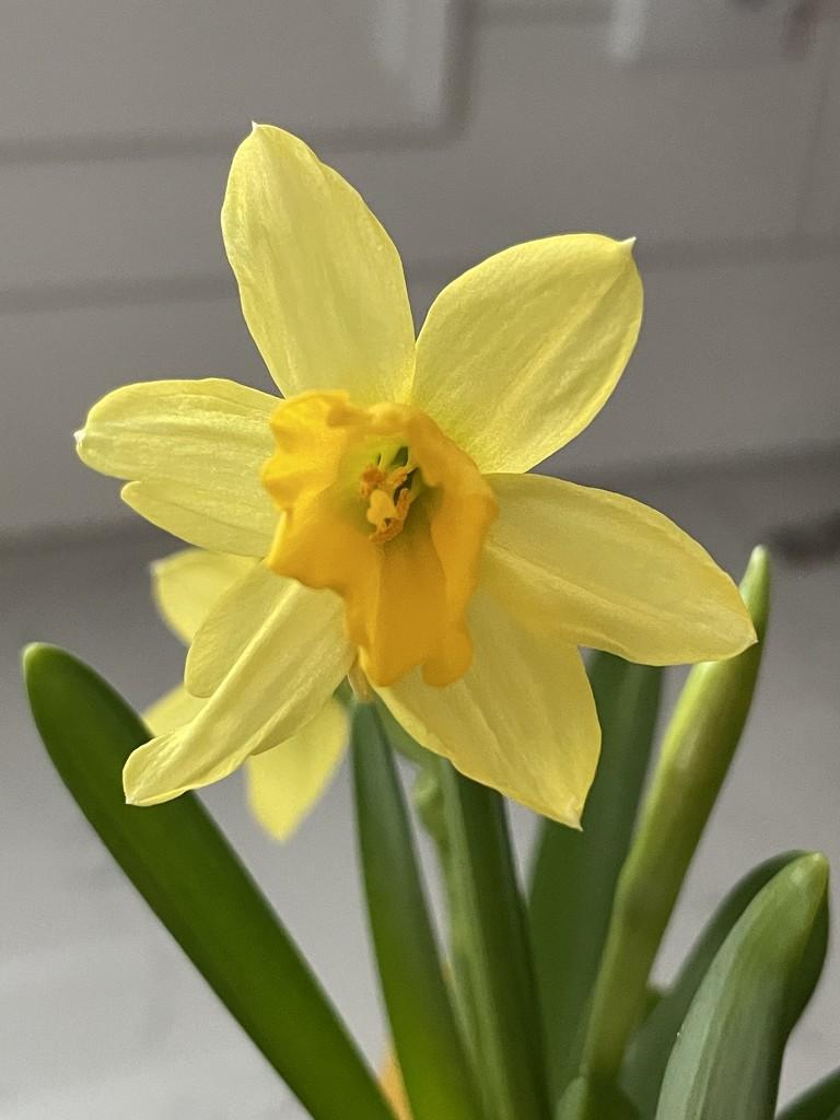 Daffodil by kdrinkie
