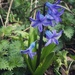 First bluebell of the year by tinley23