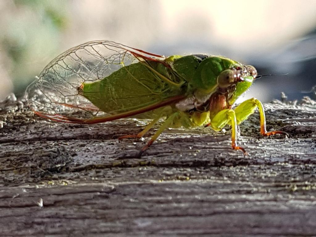 Cicada by rustymonkey