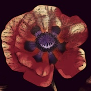 22nd Mar 2021 - Edited Poppy