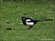 22nd Mar 2021 - Magpie