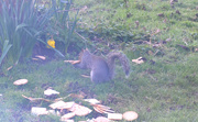 22nd Mar 2021 - Squirrel eating stale biscuits