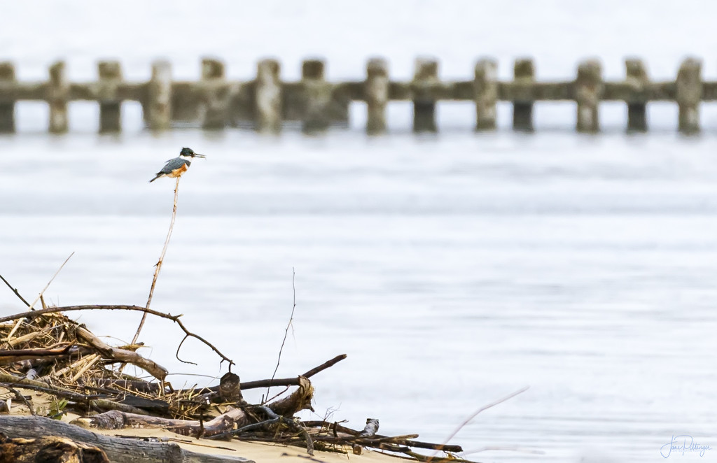 Kingfisher with Fish by jgpittenger