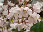 21st Mar 2021 - Blossom