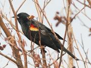 22nd Mar 2021 - red-winged blackbird