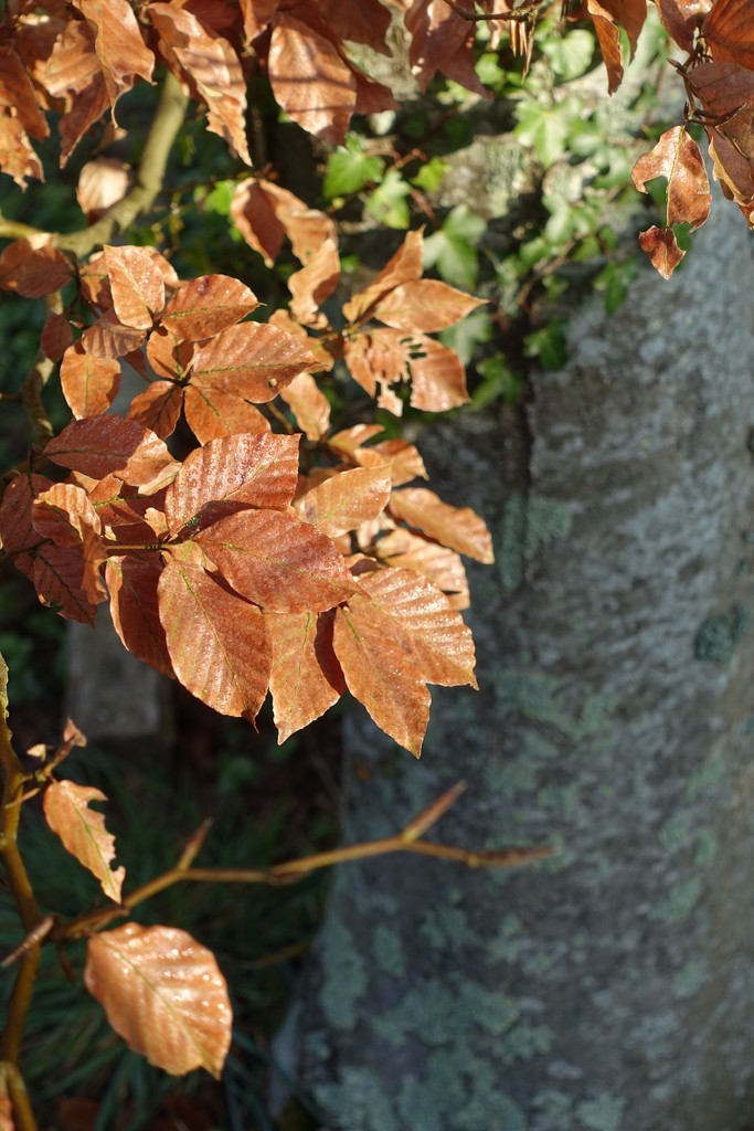 Copper Beech Leaves by s4sayer