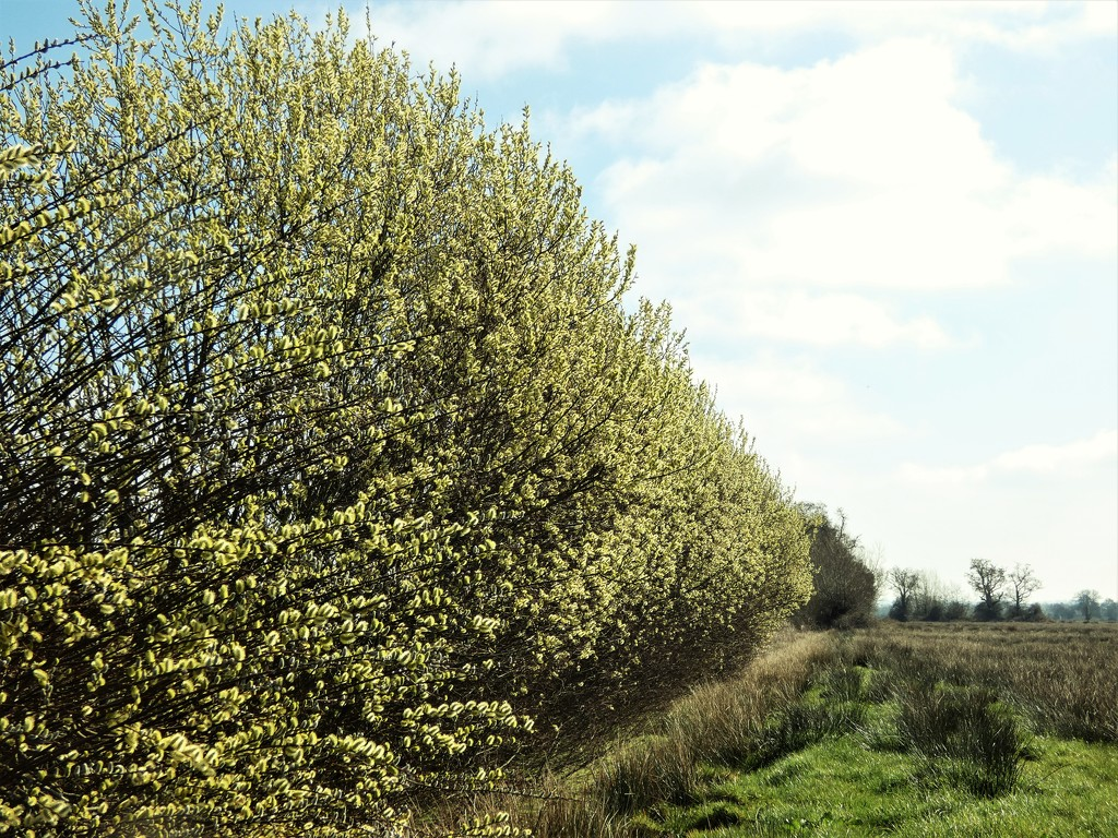Willow hedge by julienne1