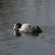 2nd Mar 2021 - Coot