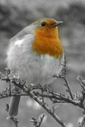 23rd Mar 2021 - Fluffed Up Robin Yellow-Red Breast