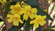 25th Mar 2021 - The South Carolina state wildflower...