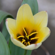 23rd Mar 2021 - Tulip Flower