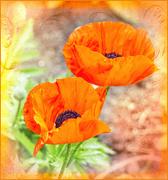 23rd Mar 2021 - Orange Poppies