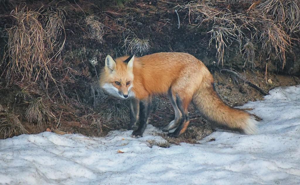 Backyard Fox by paintdipper