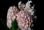23rd Mar 2021 - Pink hyacinth on black