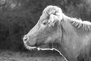 23rd Mar 2021 - Cow