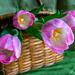 Basket and Tulips