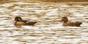 23rd Mar 2021 - wood ducks