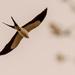 Swallowtail Kite! by rickster549