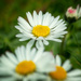 Wild daisies by cdcook48