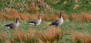 24th Mar 2021 - Greylag Geese