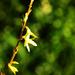 Budding bush