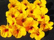 24th Mar 2021 - yellow nasturium flowers