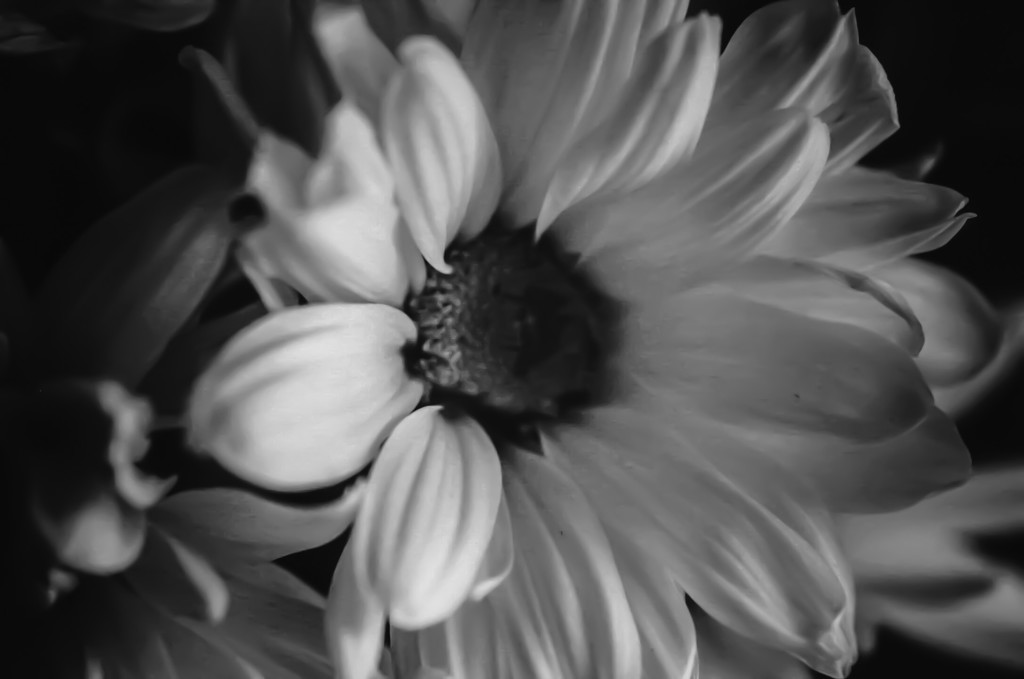 Dreary Day Daisy by mzzhope