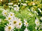 25th Mar 2021 - Mist on the tiny daisies
