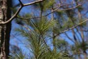 25th Mar 2021 - Pine