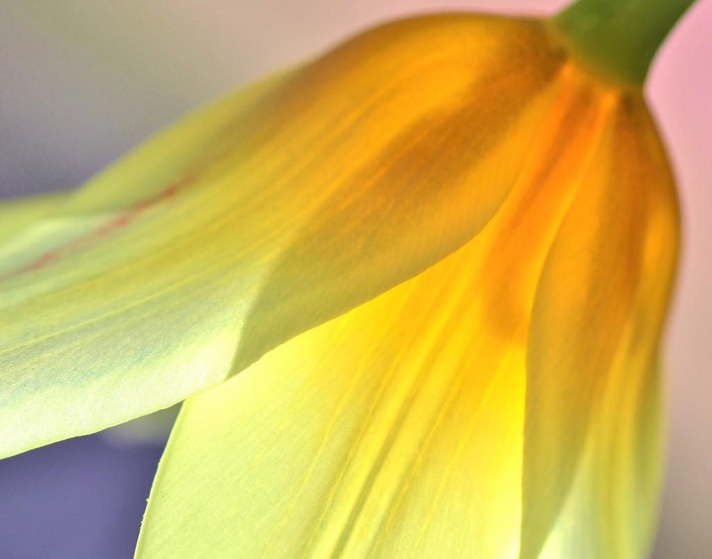 Tulip by lynnz