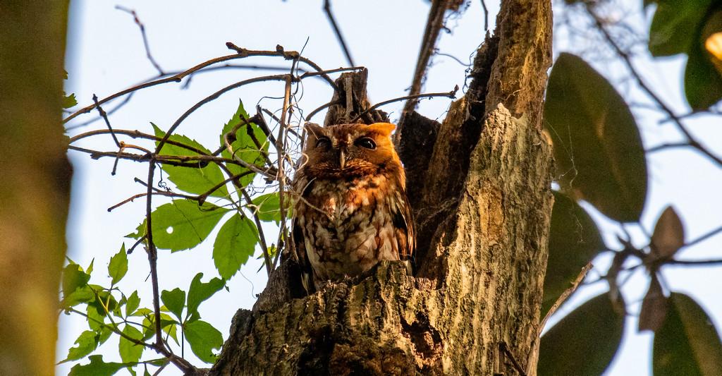 Eastern Screech Owl! by rickster549