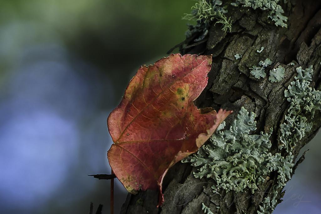 Leaf and Lichen by kipper1951