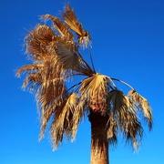 26th Mar 2021 - My neighbor's palm tree after the deep freeze