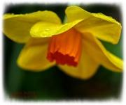 26th Mar 2021 - Rainy Day Daffodil