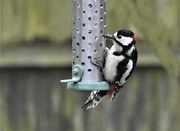 26th Mar 2021 - No wonder I have to fill the suet pellets up every day
