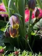 26th Mar 2021 - Fritillarias