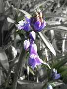 27th Mar 2021 - First Bluebells .... Which Are Actually Indigo